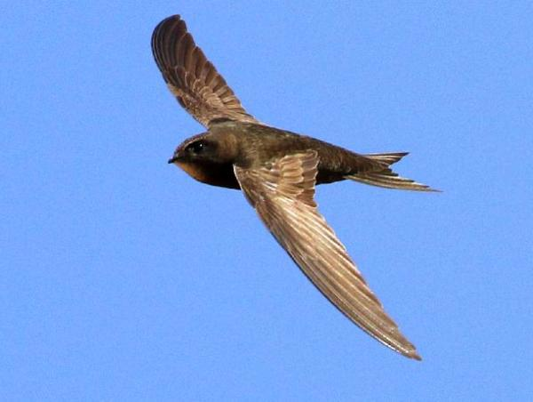 Swifts in Woodbridge